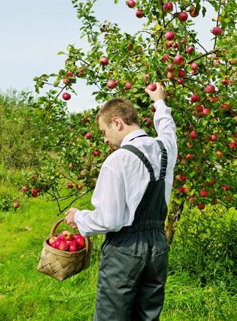 cueillette: Homme travaillant dans le jardin de pomme.