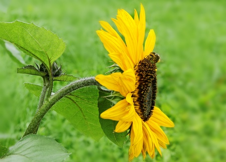 Sunflower and bumblebee in a garden. photo
