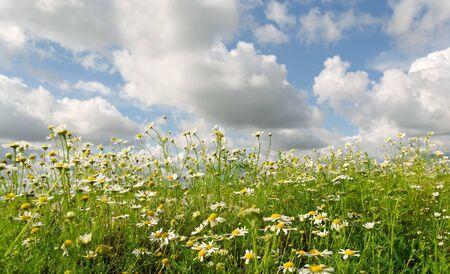 Wild daisies and clouds, horizontal photo. Stock Photo - 10824351