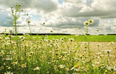 Summer daisies at the road in a sunny day. Stock Photo - 10824344
