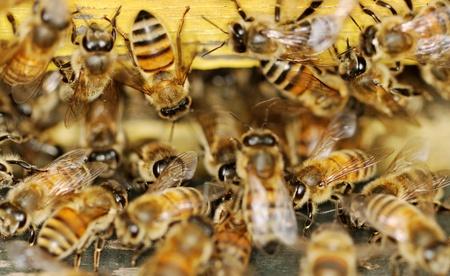 colmena: Las abejas en la entrada exterior.