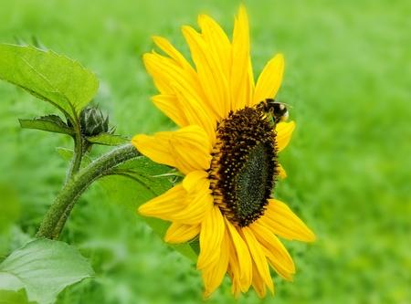 Bumblebee is working on sunflower. photo