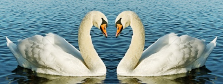 cisnes: Dos cisnes en la superficie del agua.
