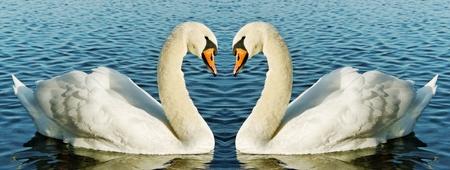 Twee zwanen op het water oppervlak. Stockfoto
