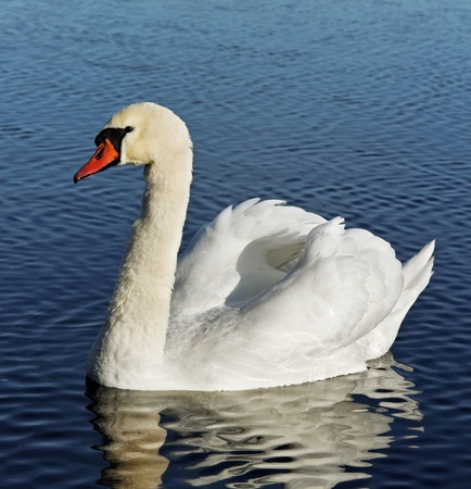 Big swan on water surface.