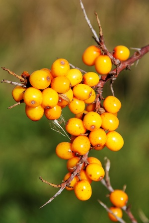 Branch of seabuckthorn, vertical photo. photo