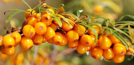 Branch of seabuckthorn, horizontal photo.