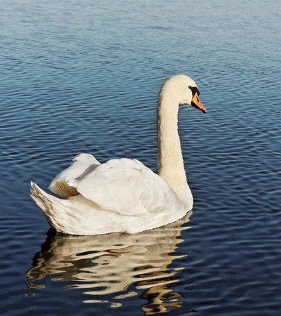 Swimming swan on water, vertical photo. photo