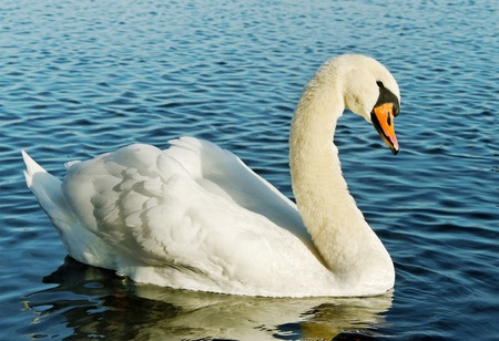 Swan on the water surface. photo