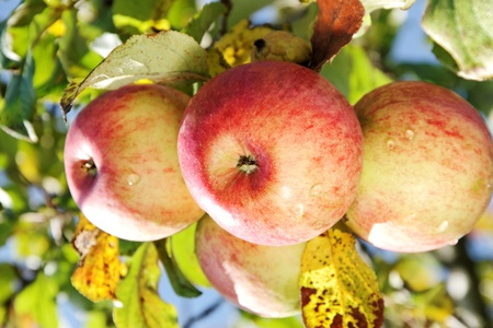 Sweet apples is growing on a branch.