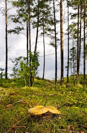 Two yellow mushrooms growing in pine dune. photo