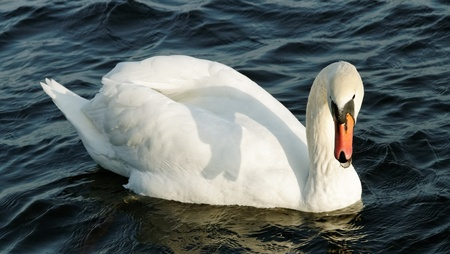 hiss: Angry swan with open beak on  water surface. Stock Photo
