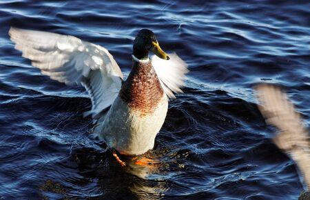 Bird on the lake, horizontal photo. photo