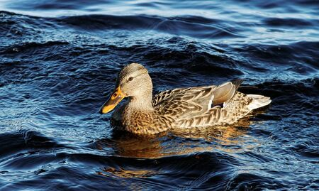Wild duck on the lake. photo