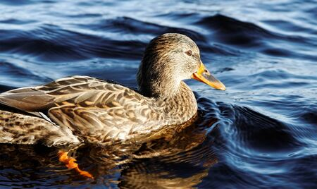 Wild duck is swimming on a lake. photo