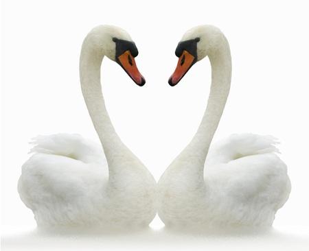 Twee witte zwanen op rimpel oppervlak. Stockfoto