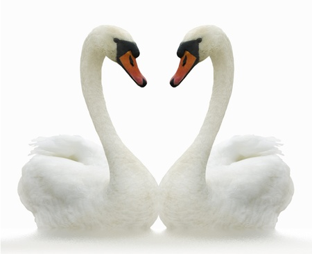 Two white swans on ripple surface. Stock Photo