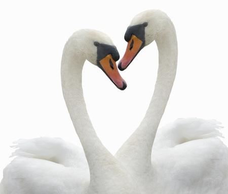 Twee zwanen om verliefd te worden.