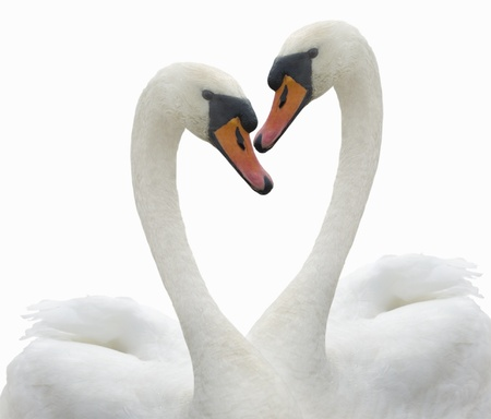 swan pair: Two swans to fall in love. Stock Photo