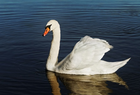 Swan on blue lake water. photo
