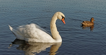 Swan and a duck on the water. photo