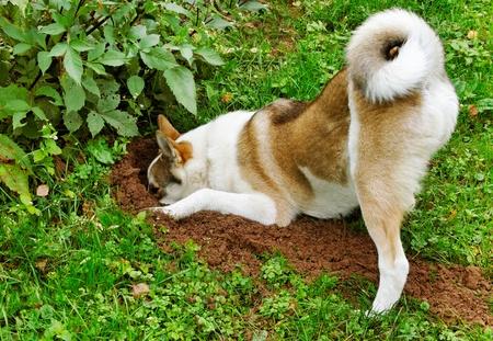 Purebred dog laika in a garden. Stockfoto