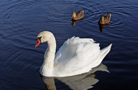 Swan and two ducks on lake. photo