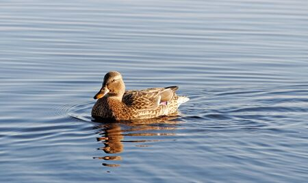 Swimming duck on the water surface. Stock Photo - 11806721