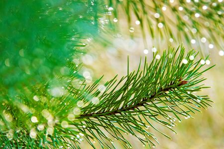 Natural growing fir tree with water drops. photo