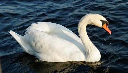 Drinking swan on a lake. photo