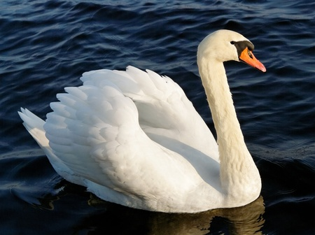 Lonely swan on lake water surface.
