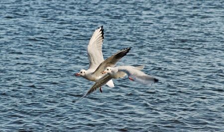 Two seagulls above water surface. photo