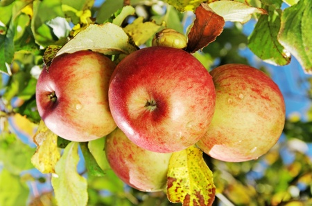Natural apples on a growing tree in an autumn