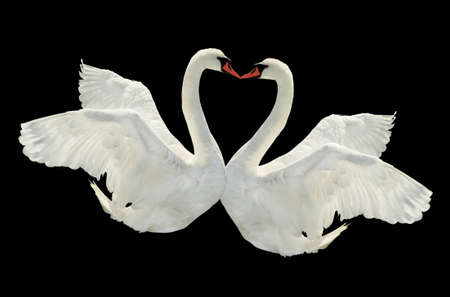 Two swans is kissing on black surface  photo