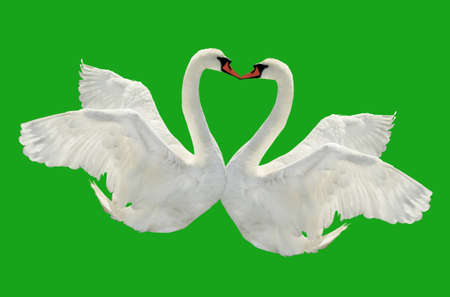 Two swans is kissing on green surface  photo