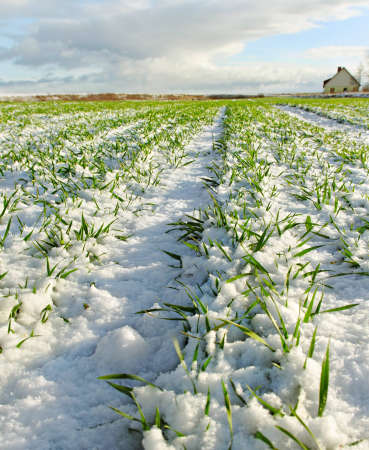 Snowy land with growing wheat in a sunny day  photo