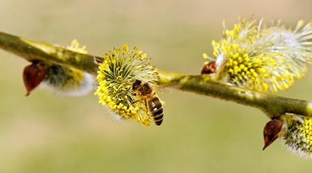 Macro of Pussy Willow branches with bee  Stock Photo