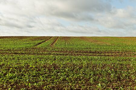Young canola plants is growing on cultivated hill  photo