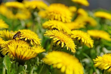 Bee working on yellow dandelion  photo