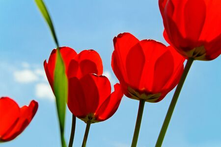 Red poppy on sky background in a sunny day  photo