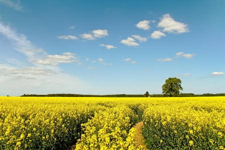 Canola field in a sunny day  photo