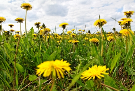 Yellow dandelions are spring weeds. photo