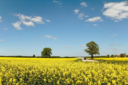 Road between canola fields  in a sunny day. photo