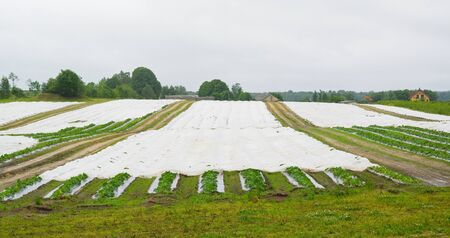 polythene: Vegetable are growing on the black polythene