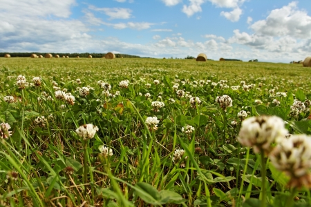 Landscape with haystack and clovers  photo
