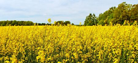 yelllow: Landscape with yelllow canola plants