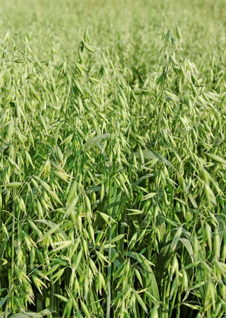 Growing oats on the field  photo