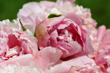 Natural pink peony flowers background  Stock Photo