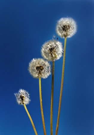 Graph from fluffy dandelions on blue sky background  photo