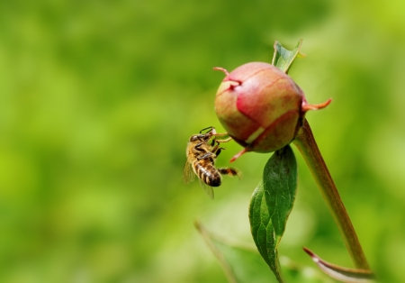 Bee on the bud of peony  photo